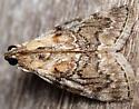 striped oak webworm moth - Pococera expandens