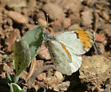 Stella Orangetip - Anthocharis julia