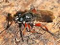 red-legged robber - Laphria sadales - male
