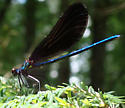 Damselfly - Calopteryx maculata - male