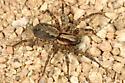 OC Spider - Hololena santana - Hololena santana