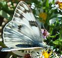 Western white - Pontia occidentalis