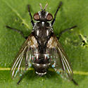 Unknown Fly - Admontia - female