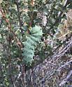 Columbia Silkmoth Caterpillar - Hyalophora columbia