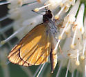 What kind of skipper is this? - Ancyloxypha numitor - male