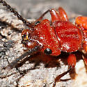 Flat Red Beetle - Cucujus clavipes
