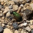 Calosoma sp? - Chlaenius lithophilus