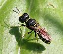 Wasp ID Request - Ectemnius lapidarius - female