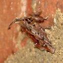 Clydonopteron sacculana