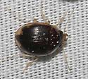 Beetle?? - Omophron labiatum