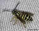 Wasp - Vespula squamosa