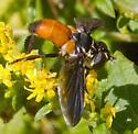 Feather-legged Fly - Trichopoda pennipes - female