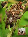 Orb Weaver - Araneus