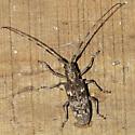 Long-horned Beetle - Monochamus