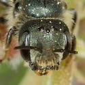 Metallic blue Osmia Bee - Osmia georgica - female