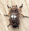 Weevil? - Toxonotus cornutus