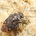 Shore bug - Saldula pallipes