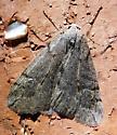 Alsophila pometaria? - Paleacrita vernata - male