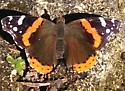 Butterfly black red white - Vanessa atalanta