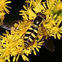 Syrphid Fly - Epistrophella emarginata - female