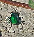 Iridescent Green Insect - Cicindela sexguttata