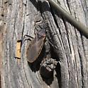 Kissing bug - Triatoma rubida