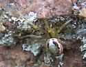 Cobweb spider?? - Zygiella atrica