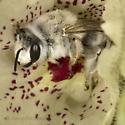 Male Bee bivouaced in Mohavea flower  - Megandrena enceliae