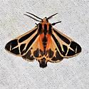 Apantesis Tiger Moth - Apantesis phalerata