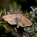 Mythimna unipuncta - Armyworm Moth - Mythimna unipuncta