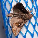 Common Looper Moth Autographa precationis ? - Autographa precationis