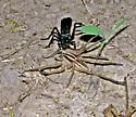 Anoplius lepidus atramentarius with Rabid Wolf Spider (Rabidosa rabida) - Anoplius lepidus - female