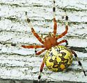 Spider - Araneus marmoreus - female