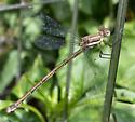 Female Great Spreadwing - Archilestes grandis - female