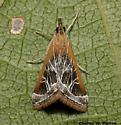 Pyrausta nexalis 5019? - Pyrausta nexalis