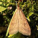 Celery Leaftier Moth – Hodges#5079 -  - Udea rubigalis