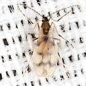 Gall Midge - Lestodiplosis - female