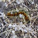 Lepidopteran larva - Acronicta dactylina