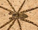 Fishing Spider? - Dolomedes albineus
