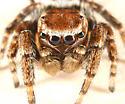 jumping spider - Evarcha hoyi