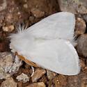White Flannel Moth - Norape ovina