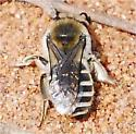 Colletes ? - Colletes inaequalis