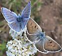 Male and female Blue Copper - Lycaena heteronea - male - female