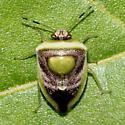 Stinkbug ID Request - Kermana imbuta