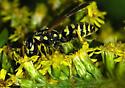 wasp - Polistes dominula