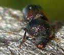 Beetle  - Xylobiops basilaris