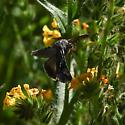 Moth - Autographa californica