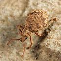 weevil - Myosides seriehispidus
