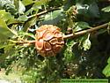 Pine Cone Oak Gall - Andricus quercusstrobilanus
