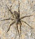 rock spider - Dolomedes albineus